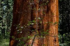 L0004, California, dogwood, giant sequoia