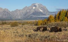 L0054, Wyoming, bison, mountain