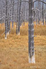 L0077, Wyoming, dead, tree, geyser, orange, gray, weathered