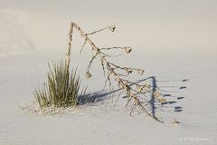 Broken Yucca