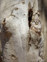 R0019, Pennsylvania, barred, owl, Signature-Series, camouflage, camo