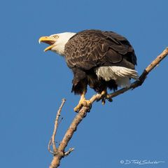 R0020, America, Bald Eagle, Bald, Eagle, calling, bird
