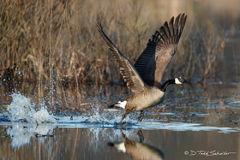 W0012, Canada, goose