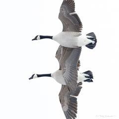 W0016, Pennsylvania, Canada, goose, geese, Signature-Series