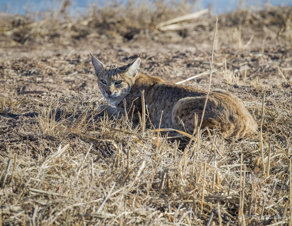 F0018, 18, New Mexico, bobcat, photo