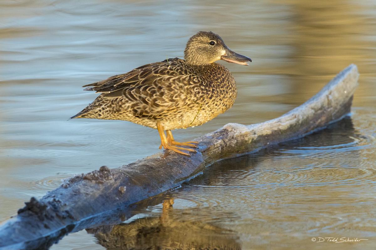 W0090, hen, log, quack, photo